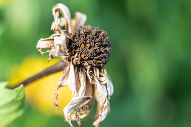 Macro shot of a wilted daisy flower in a garden