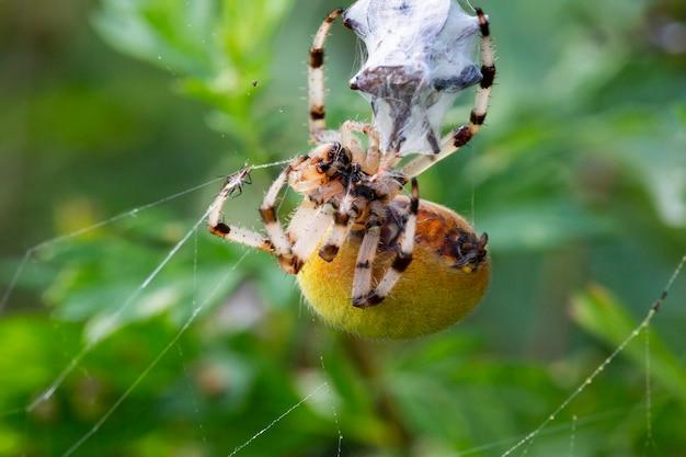 매크로 거미 식인 풍습, 암컷 정원 거미 araneus diadematus는 교미 후 수컷을 죽이고 그를 감쌌습니다.