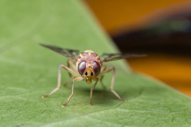 Macro sunflower maggot fly ( drosophila melanogaster)