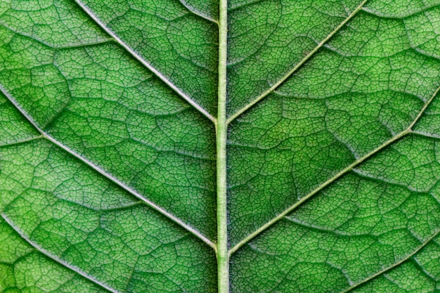 Macro texture of green leaf close  up