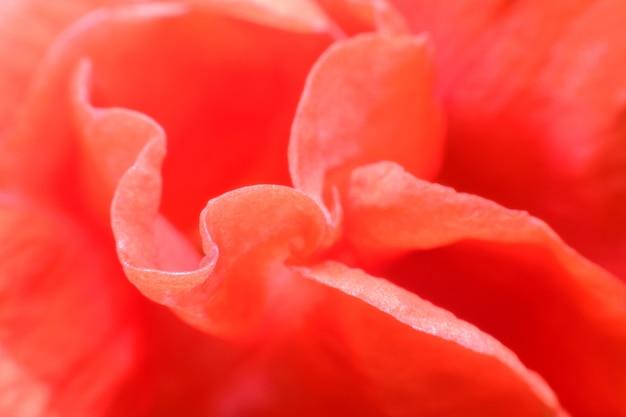 Макро цветок красного салата в саду
