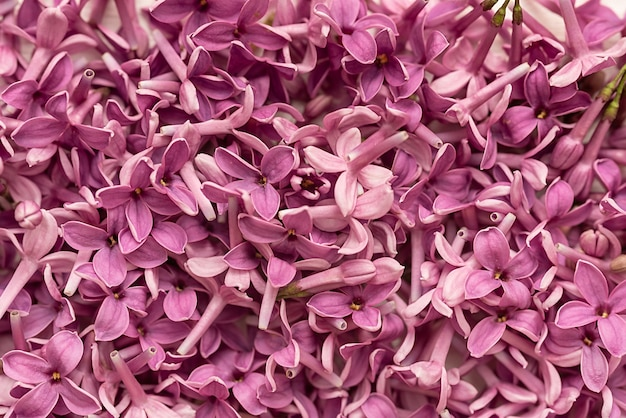 Macro view of a blooming lilac bush. spring blooming lilac flowers. background for design.