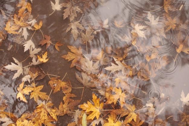 Макро вид желтых кленовых листьев в лужах