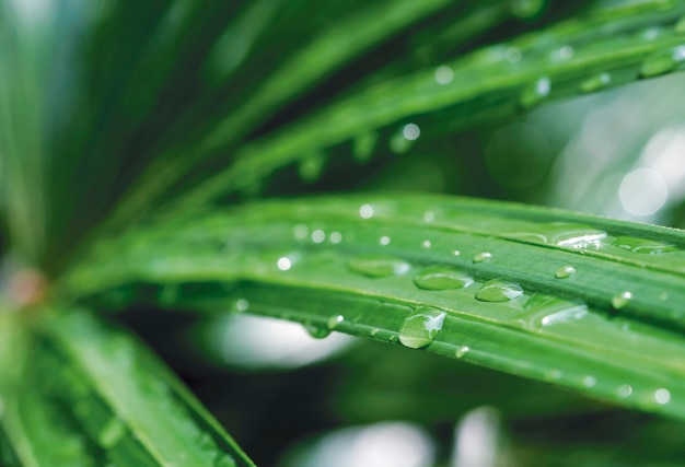 Macro water drop on lady palm background