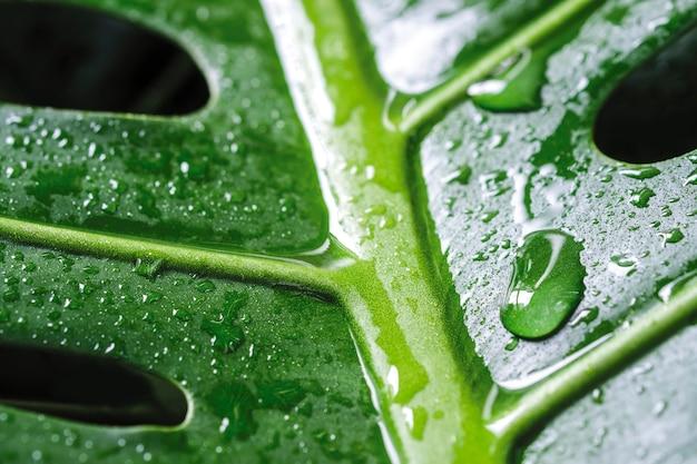 Monstera deliciosa 또는 스위스 치즈 공장 물방울 열 대 잎에 매크로 물방울