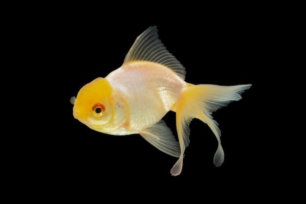Macro white goldfish