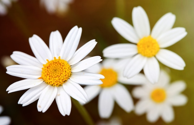 Macro of wild daisies in the field