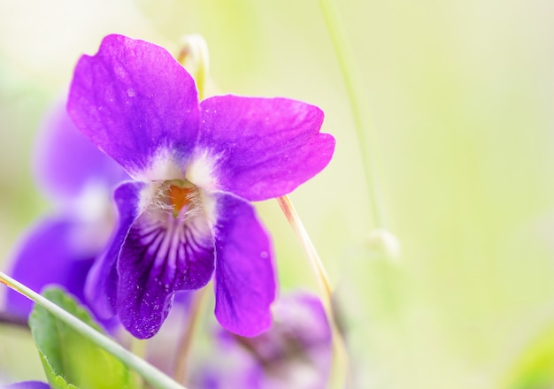 Macro   of a wild violet flower on a meadow in the spring morning, shallow depth of field