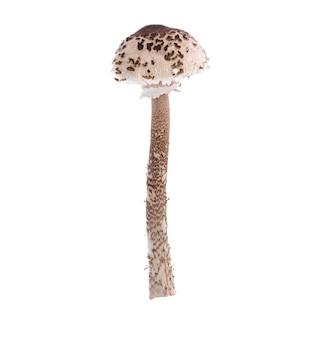 白い背景の上の森の野生キノコmacrolepiota