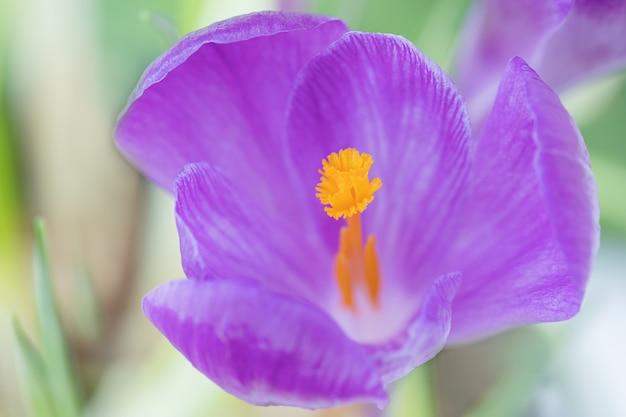 黄色の芯を持つ紫色のクロッカスの花のマクロ写真