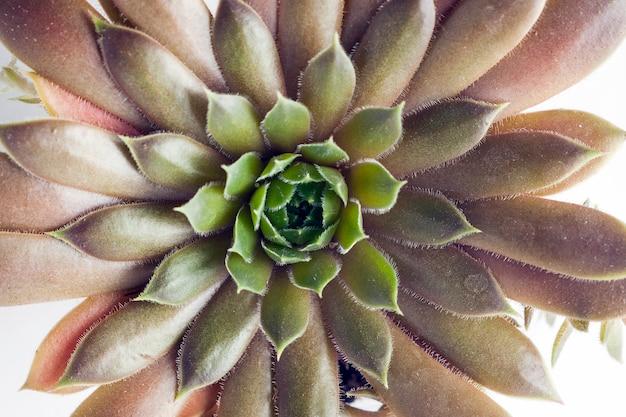 Макрофотография растений семейства sempervivum серии big sam. имя корал гре