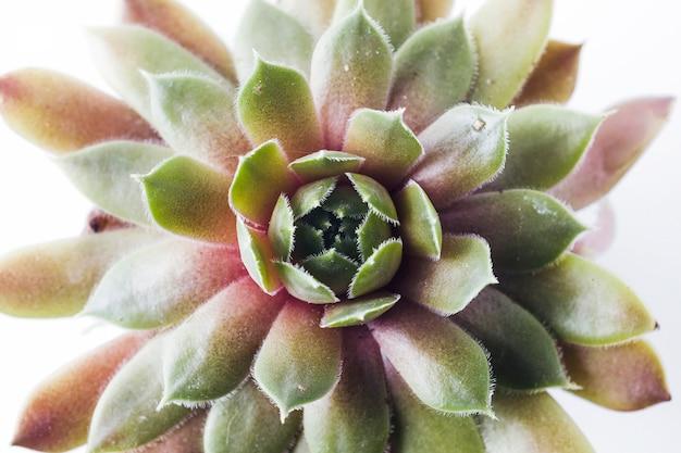 Макрофотография растений семейства sempervivum серии big sam. название power grenade