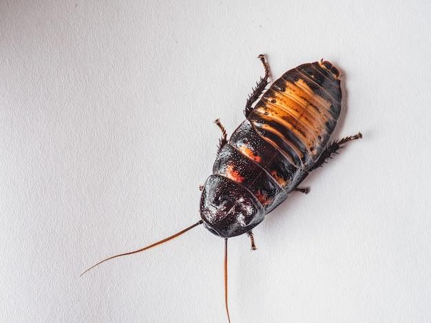 Мадагаскарский таракан на белом фоне крупным планом, насекомое для разведения в домашних условиях