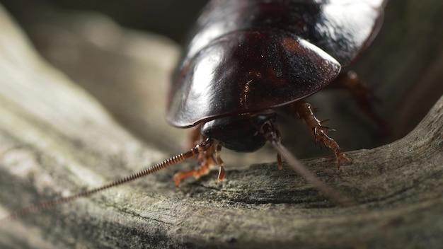 木の上に座っているマダガスカルのゴキブリと口ひげが小刻みに動く。