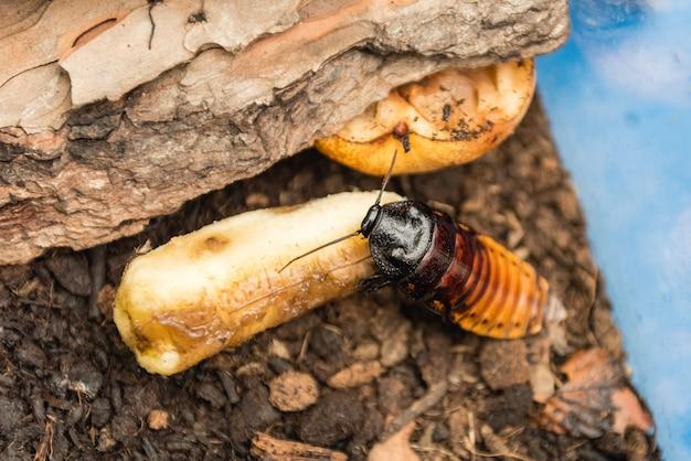 Мадагаскарский шипящий таракан, он же gromphadorina portentosa, ест банан. это один из самых крупных видов тараканов.