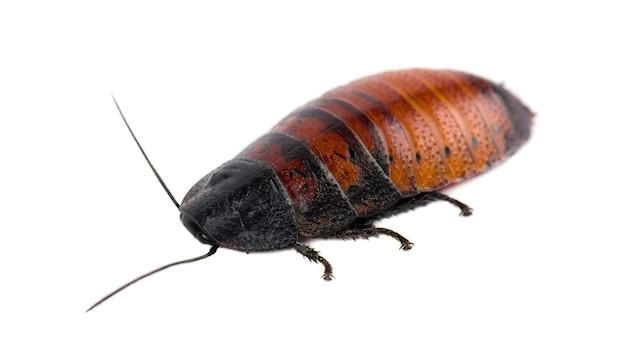 Madagascar hissing cockroach isolated. gromphadorhina portentosa