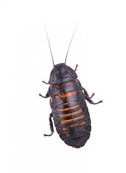 Madagascar hissing cockroach isolated on white background.