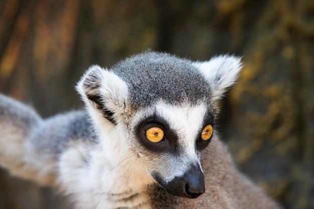 노란 눈을 가진 마다가스카르 여우 원숭이를 닫습니다.
