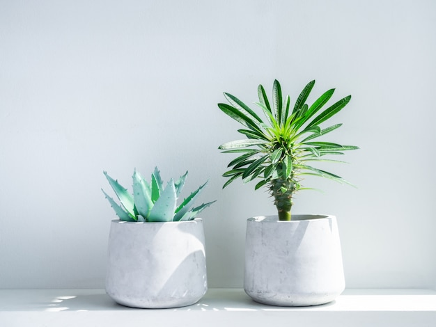 Madagascar palm cactus and green aloe vera succulent plant in modern geometric cement planter on white