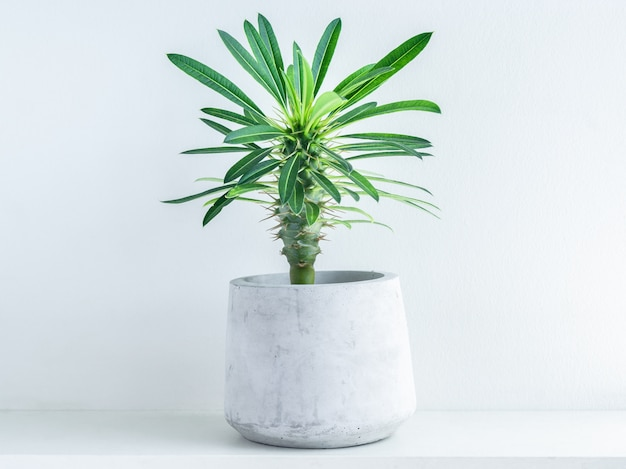 Madagascar palm cactus in modern geometric cement planter on white wood shelf on white