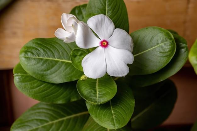 Мадагаскарский барвинок растение вида catharanthus roseus Premium Фотографии