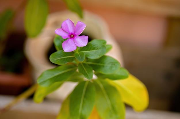 Madagascar periwinkle plant of the species catharanthus roseus