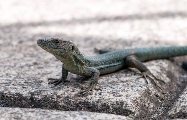Madeiran wall lizard (lacerta dugesii)