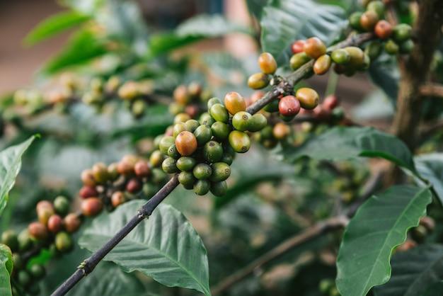 タイ、チェンマイの丘の上のmaejantaiのakha村のコーヒーの木からの緑と赤のアラビカコーヒー果実。