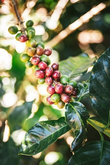 チェンマイ、タイの丘の上のmaejantaiのakha村のコーヒーの木から緑と赤のアラビカコーヒー果実。