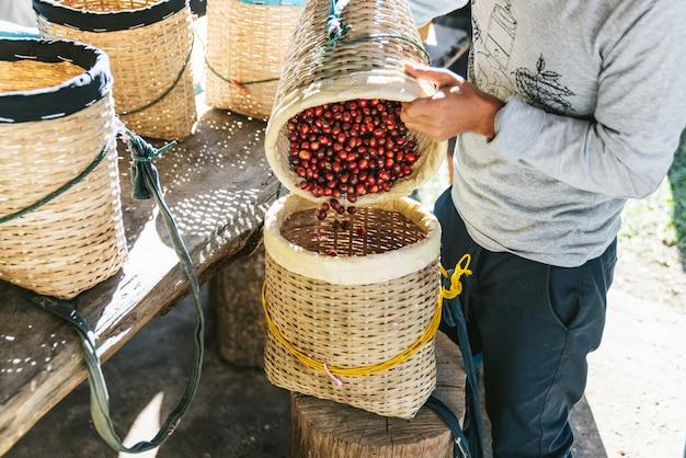 農民注ぐ手はタイのチェンマイの丘の上のmaejantaiのakha村の別のかごに熟した赤いアラビカコーヒー果実を選んだ。