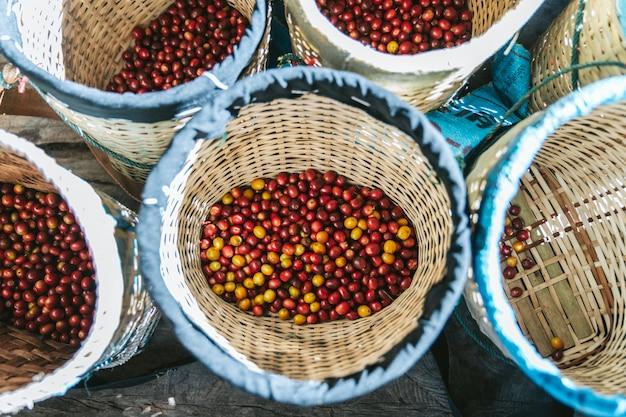 手は、タイのチェンマイの丘の上のmaejantaiのakha村でバスケットに熟した赤と黄色のアラビカコーヒー果実を選びました。