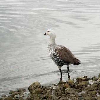 Magellan goose (chloephaga picta) at lakeside, puerto natales, patagonia, chile Premium Photo