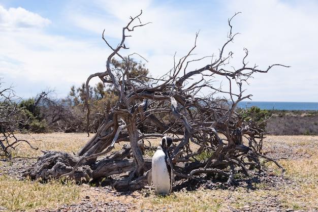 マゼランペンギンがアルゼンチン、パタゴニアのプンタトンボペンギンのコロニーをクローズアップ