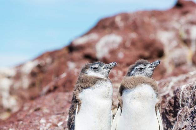 パタゴニアのマゼランペンギン(spheniscus magellanicus)