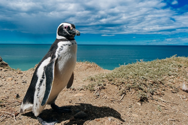 Magellanic penguins dwelling by their nest at the rocks above the beach at valdes peninsula, patagonia, argentina