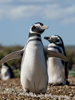 Магеллановы пингвины в колонии аргентины на полуострове вальдес