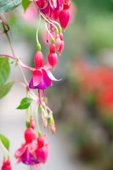 緑の木の背景に美しいピンクのフクシアmagellanicaの花のイメージ