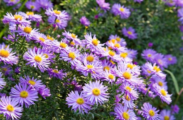 秋の公園のマゼンタのアスターの花(季節の背景)