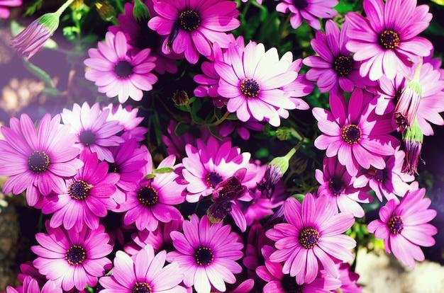Magenta bicolour, pericallis hybrid background. violet and purple flowers. copy space.