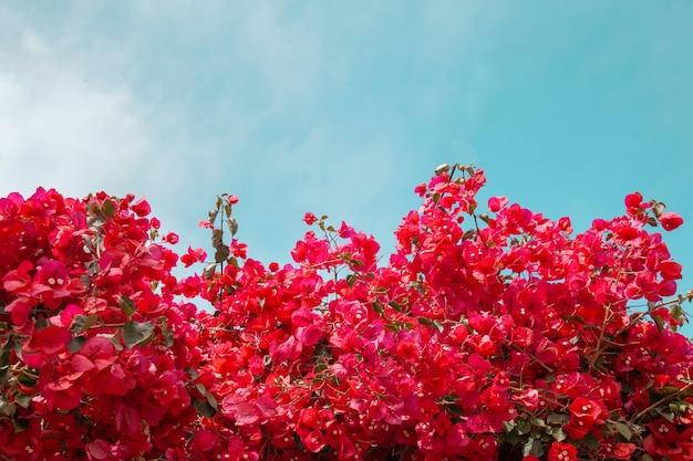 Magenta bougainvillea flowers against blue sky bougainvillea flowers as a background concept floral background