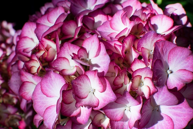 Пурпурно-розовая гортензия в саду в солнечный летний день