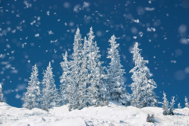 Magic, cold winter day with snowy pine tree