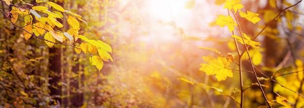 日光の下で木に黄色の葉を持つ秋の森の魔法のコーナー。森の黄金の秋、パノラマ