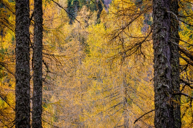 Magic view of yellow larch tree branches in autumn season