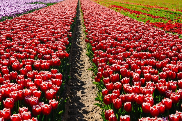 Magical landscape with fantastic beautiful tulips field in netherlands on spring. blooming multicolor dutch tulip fields in a dutch landscape holland. travel and vacation concept. selective focus.