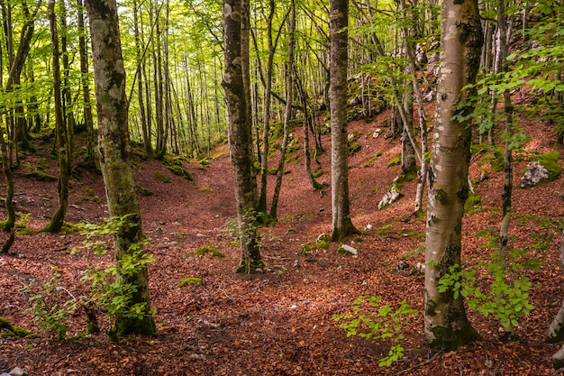 Magical and lush forest on the rise. mount aizkorri 1523 meters, the highest in guipuzcoa. basque country. ascent through san adrian and return through the oltza fields