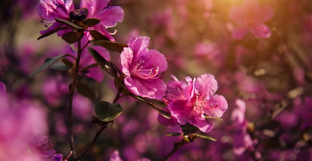 Magical spring pink flowers in the sunlight, soft focus, close-up. cherry blossom, almond, rhododendron. floral background, banner.