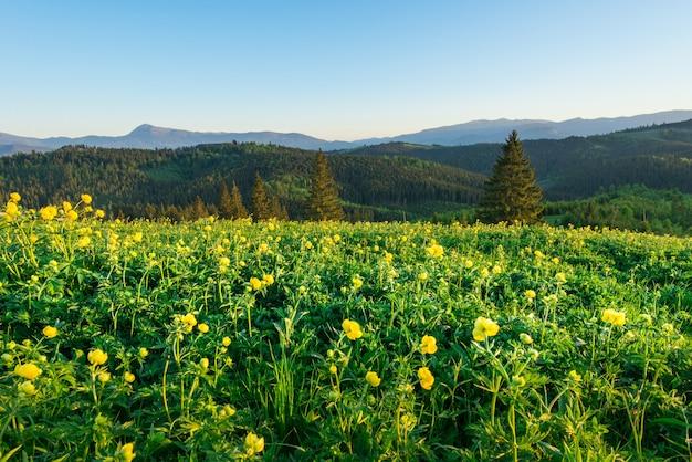 Волшебный вид на луг с желтыми полевыми цветами на фоне елового леса, растущего на холмах и горах, на фоне голубого неба в солнечный теплый летний день
