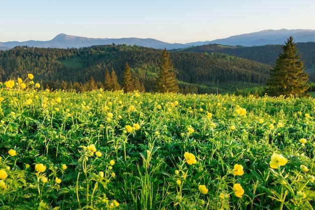 Волшебный вид на луг с желтыми полевыми цветами на фоне елового леса, растущего на холмах и в горах, на фоне голубого неба.