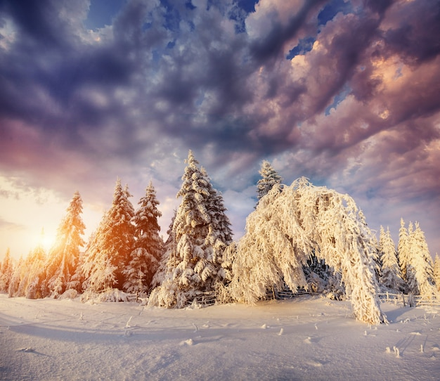 Magical winter snow covered tree. sunset in the carpathians. ukraine